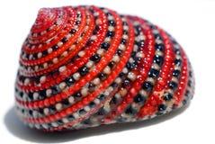 Shell rojo-negro-blanco hermoso del cangrejo Fotos de archivo libres de regalías