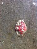 Shell rosso 3 fotografia stock libera da diritti