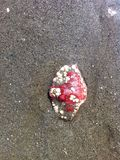 Shell rouge 3 Photo libre de droits