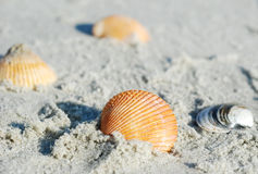 Shell in Sand Stock Photography