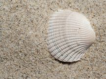Shell in the sand. Single shell on a beach Royalty Free Stock Images