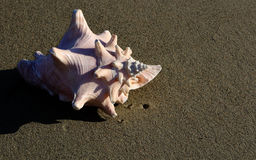 Shell. A shell on the sand Royalty Free Stock Images