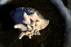 Shell. A shell on the sand Royalty Free Stock Photos