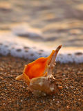 Shell on sand beach 1. Sea shell (spiny whelk) on sand beach at sunset in Croatia (Dalmatia). Photographed using a long exposure. Vertical color photo Royalty Free Stock Photography
