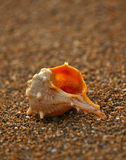 Shell on sand beach 2 stock image