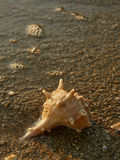 Shell on sand beach 5 Royalty Free Stock Images