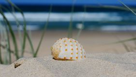 Shell on a sand dune. A beautiful orange and white shell on a sand dune at the beach with the ocean and blue sky in the back ground stock photos