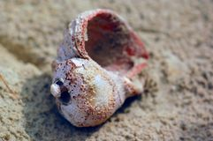 Shell on the sand. Sink rape in the sand. On the Black Sea coast Royalty Free Stock Image