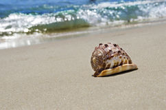 Shell on sandy beach Royalty Free Stock Photo