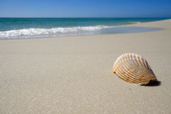 Shell on sandy beach stock photography