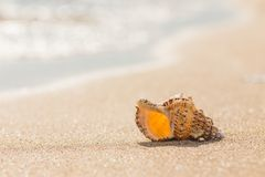 Shell on a sandy beach. Royalty Free Stock Images