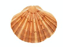 Shell of the scallop (Pecten meridionalis) on white background stock photography