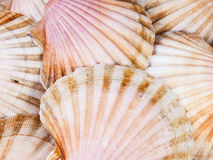 Shell scallops background Stock Photos
