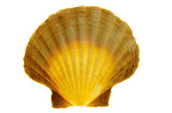 Shell (scallops) Stock Images