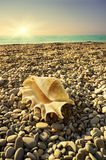 Shell on sea beach   Royalty Free Stock Images