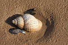 Shell. Sea shell on a beach Stock Image