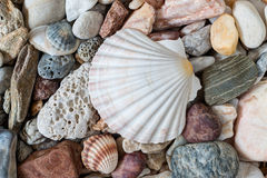 Shell On Sea Pebble Stones Royalty Free Stock Image