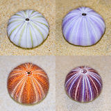 Shell of Sea Urchin or urchin Royalty Free Stock Photos
