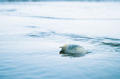 Shell in sea water Royalty Free Stock Photography