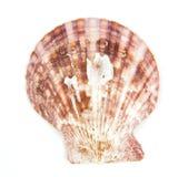 Shell ser pectinidaen på viten arkivfoto