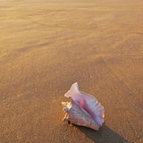 Shell in setting sun Royalty Free Stock Photo
