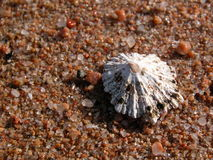 Shell. S typical of the sunny beaches of Sardinia Royalty Free Stock Photo