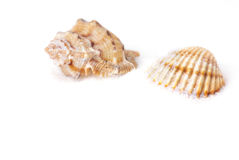 Shell and snail shell. Isolated on white background Royalty Free Stock Image