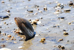 Shell Stuck In The Sand Royalty Free Stock Photo
