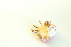 Shell su fondo bianco Fotografie Stock