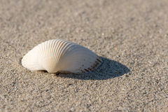 Shell sur la plage - fermez-vous, copient l'espace Photo libre de droits