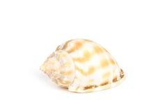 Shell sur le fond blanc images libres de droits