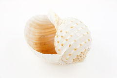Shell Of Tun Snail (Tonna Galea) Royalty Free Stock Images
