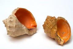 Shell twee Stock Afbeeldingen