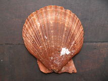 Shell 7 Royalty Free Stock Photo