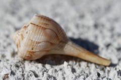 Shell van de bliksempuist, Sinistrofulgur-perversum, op een strand wordt gevonden dat Royalty-vrije Stock Afbeelding