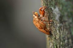Shell van de cicade Royalty-vrije Stock Fotografie