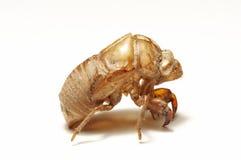 Shell van de cicade op wit Stock Foto's