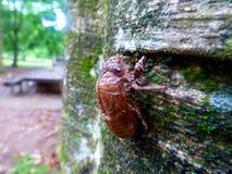 Shell van de cicade` s larve royalty-vrije stock foto's