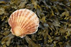 Shell van de kammossel op zeewier stock afbeelding