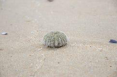 shell van de zeeëgel Stock Afbeelding