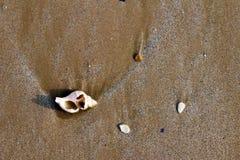 Shell van het strand Stock Fotografie