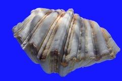 Shell van het tweekleppige schelpdier Stock Afbeelding