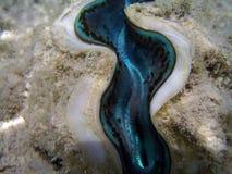 Shell van het tweekleppige schelpdier Stock Afbeeldingen