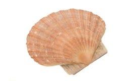 Shell van het tweekleppige schelpdier Royalty-vrije Stock Afbeeldingen