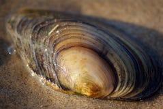 Shell van het tweekleppige schelpdier op het zand bij waterrand Stock Afbeelding