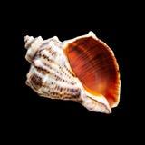 Shell van Nautilus op zwarte Stock Foto