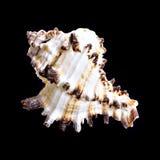 Shell van Nautilus op zwarte Stock Foto's