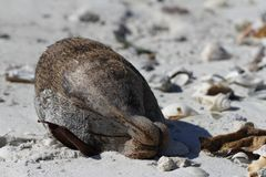 Shell velho do coco encontrado na praia Foto de Stock