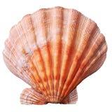 Shell vermelho no fundo branco Foto de Stock Royalty Free