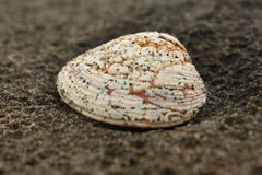 Shell on volcanic sand Royalty Free Stock Photo